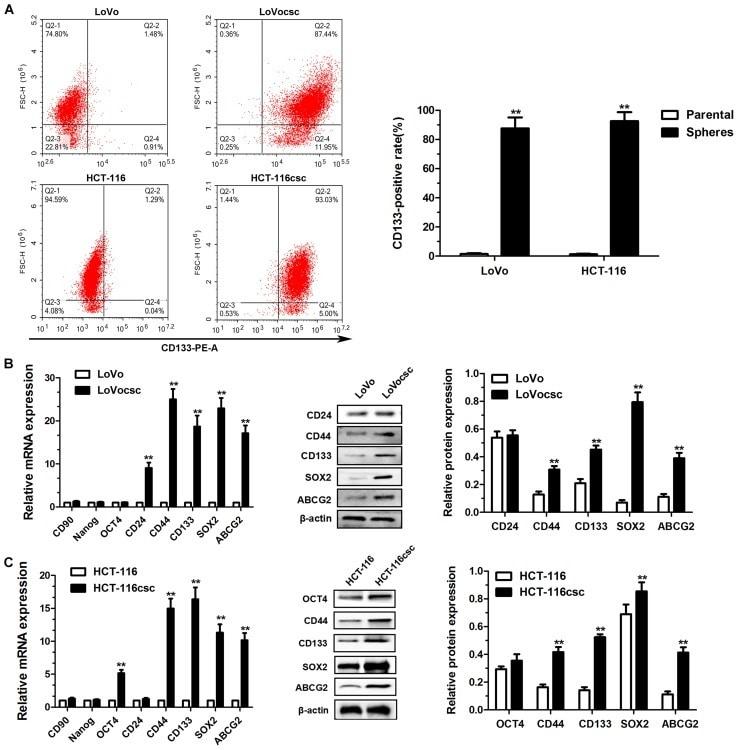CD133 (Prominin-1) Antibody