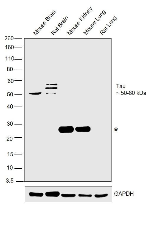 Tau Antibody in Relative expression