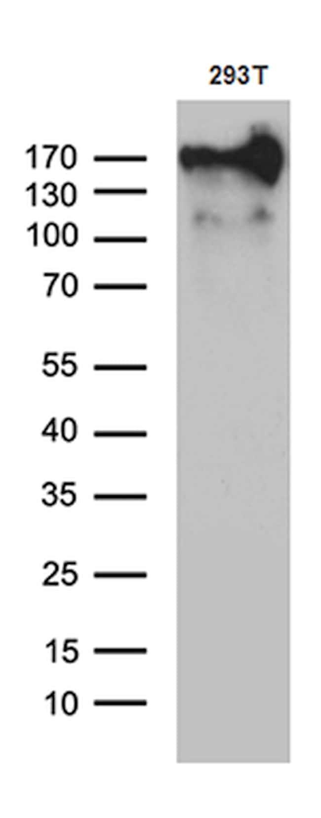 MRC2 Antibody in Western Blot (WB)