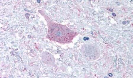 MRGD Antibody in Immunohistochemistry (Paraffin) (IHC (P))