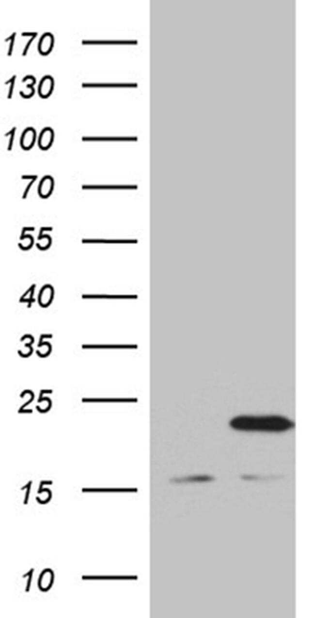 MRPL48 Antibody in Western Blot (WB)