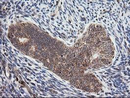 MRPS34 Antibody in Immunohistochemistry (Paraffin) (IHC (P))