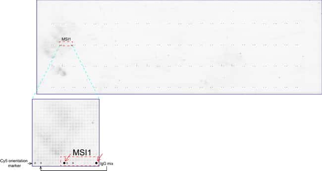 MSI1 Antibody in Peptide array (ARRAY)