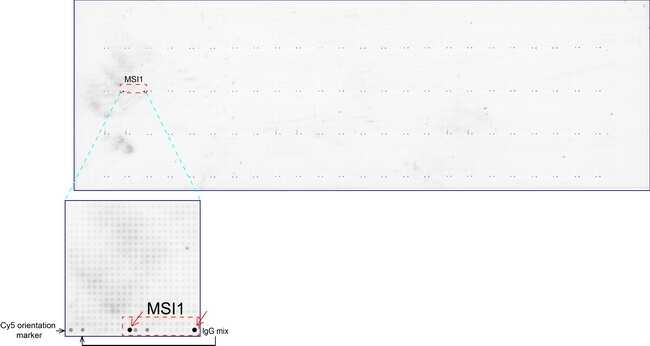 MSI1 Antibody in Peptide array (ARRAY)