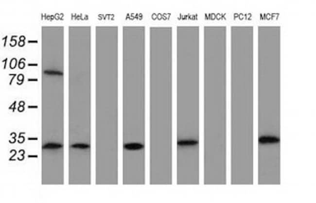 MTIF3 Antibody in Western Blot (WB)