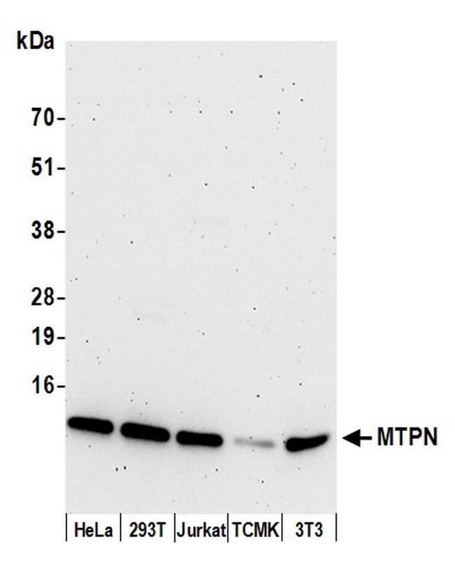MTPN Antibody in Western Blot (WB)