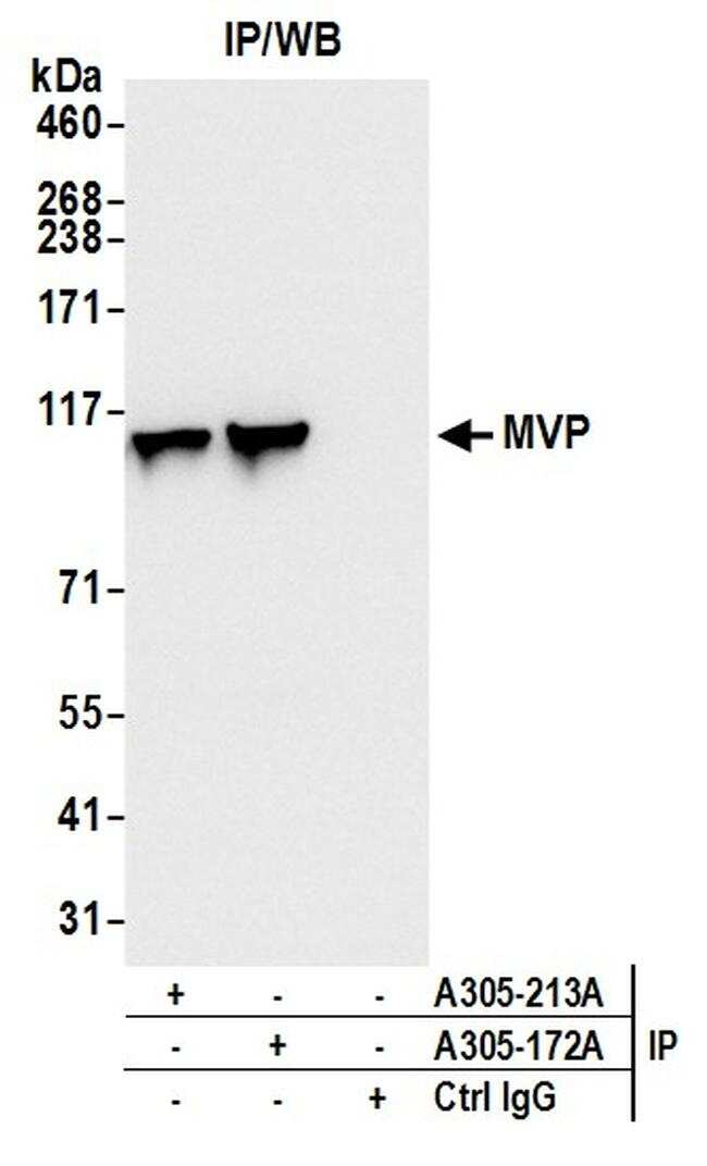 MVP/Major Vault Protein Antibody in Western Blot (WB)