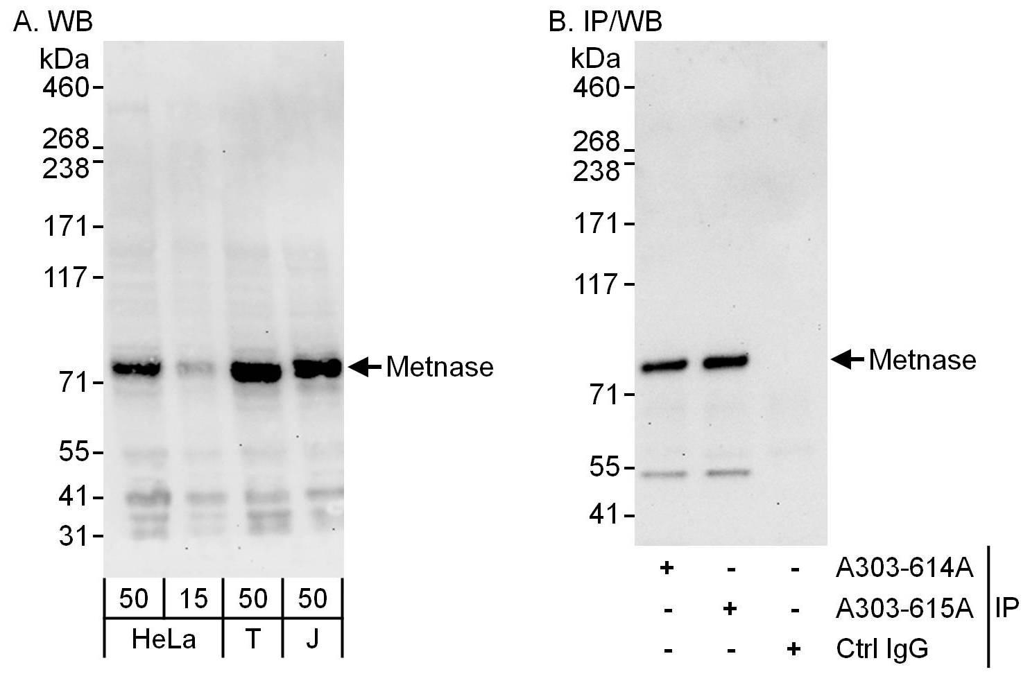 Metnase Antibody in Western Blot (WB)