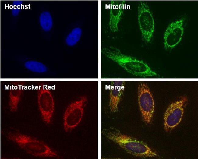 Mitofilin Antibody in Orthogonal method