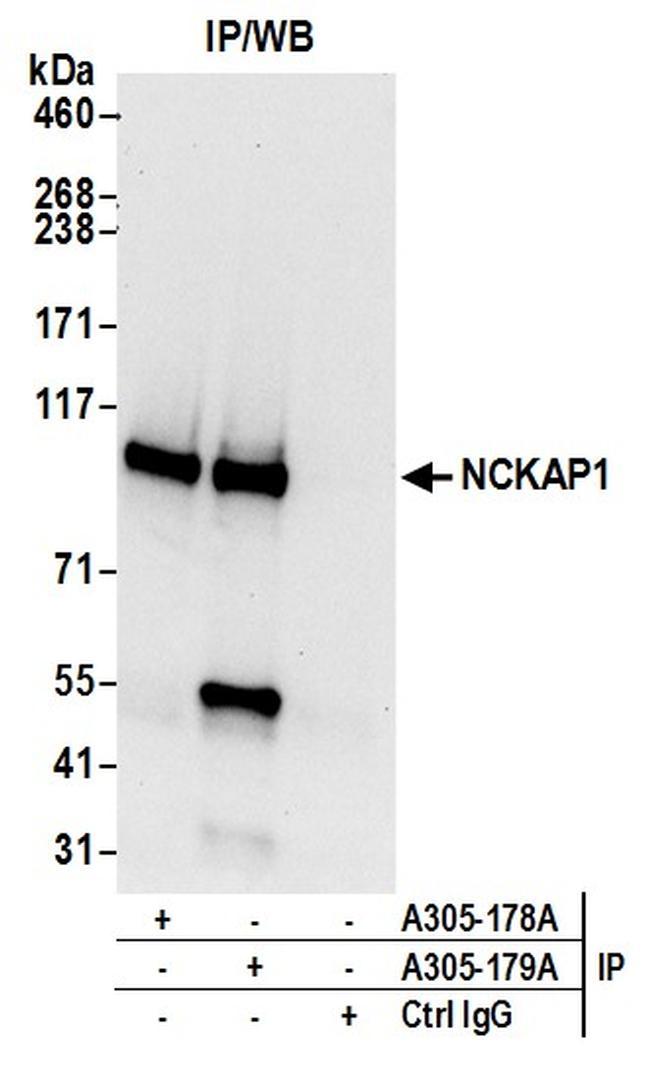 NCKAP1/NAP125 Antibody in Immunoprecipitation (IP)