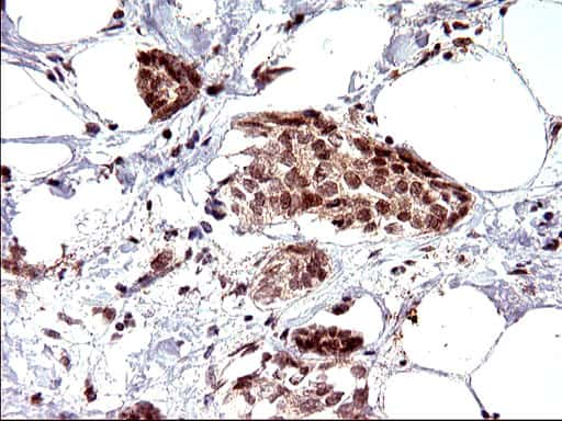 NDN Antibody in Immunohistochemistry (Paraffin) (IHC (P))