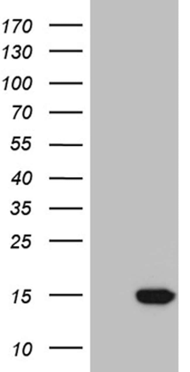 NDUFA4L2 Antibody in Western Blot (WB)