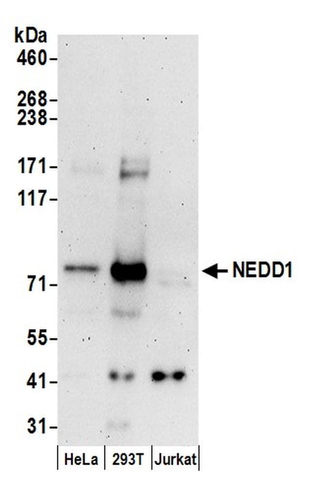 NEDD1 Antibody in Western Blot (WB)