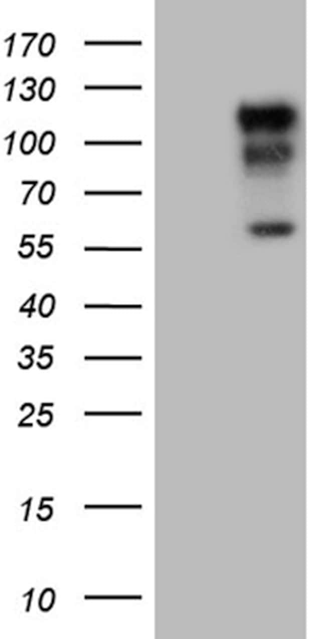 NEDD9 Antibody in Western Blot (WB)