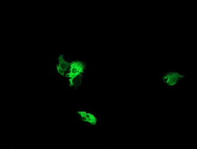 NEK11 Antibody in Immunocytochemistry (ICC/IF)