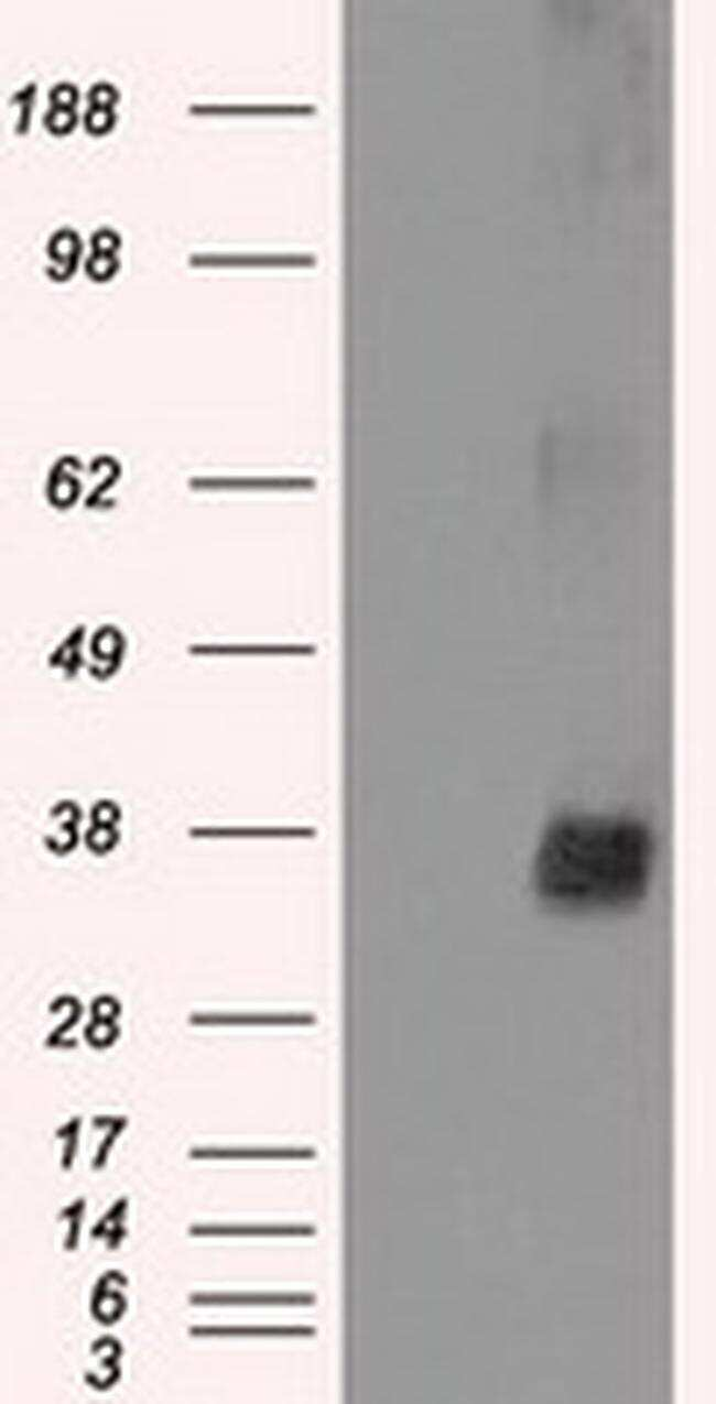 NEK6 Antibody in Western Blot (WB)