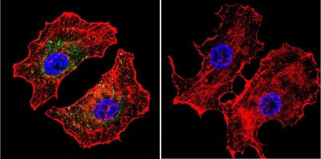 NFATC2 Antibody in Immunofluorescence (IF)