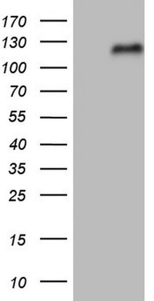 NFE2L2 Antibody in Western Blot (WB)