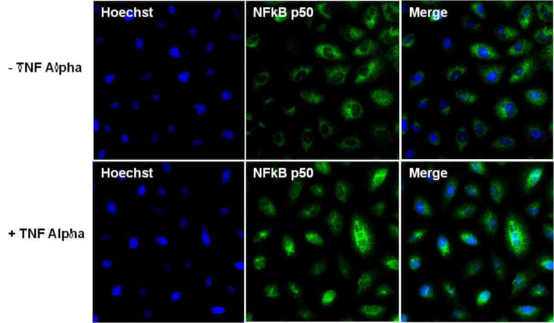 NFkB p50 Antibody in Immunofluorescence (IF)