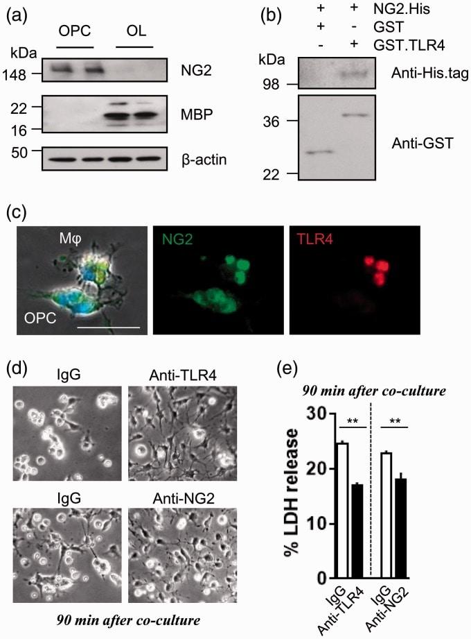 NG2 Antibody