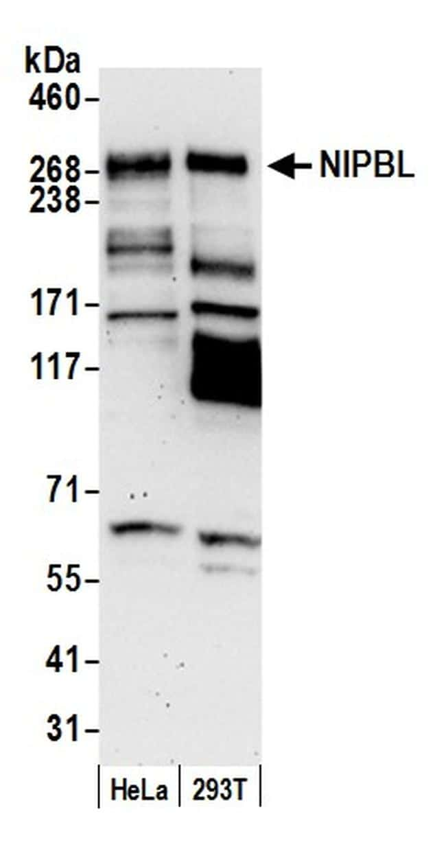 NIPBL Antibody in Western Blot (WB)