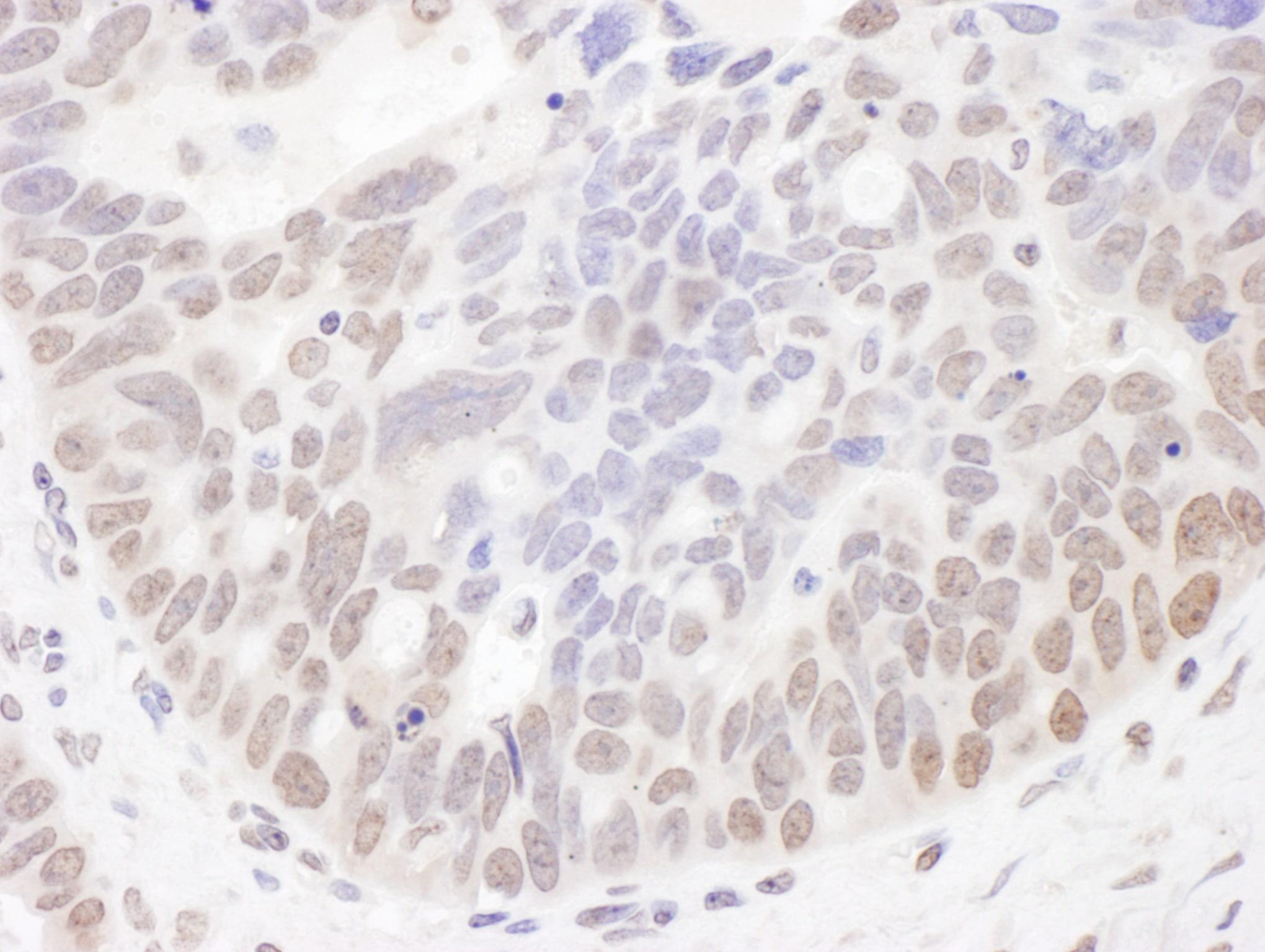 NIR Antibody in Immunohistochemistry (IHC)