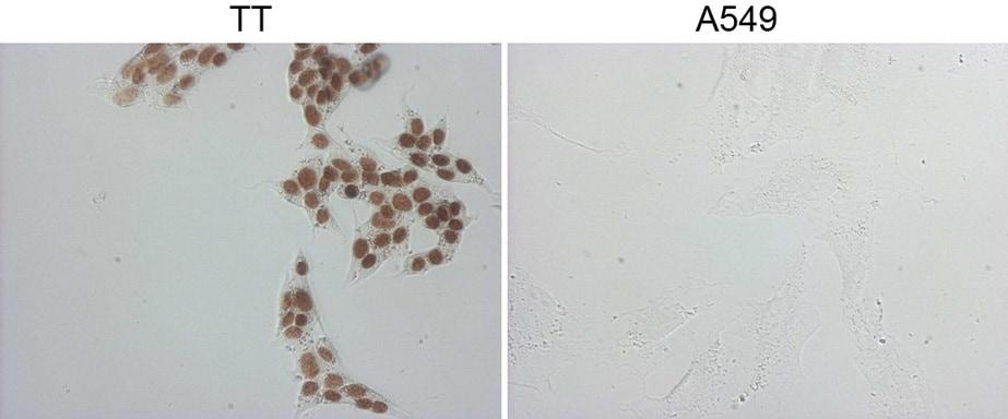 NKX2 Antibody in Immunofluorescence (IF)
