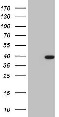 NKX2 Antibody in Western Blot (WB)