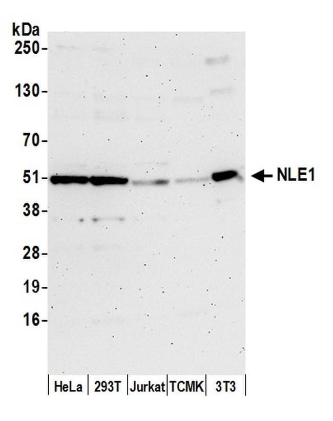 NLE1 Antibody in Western Blot (WB)