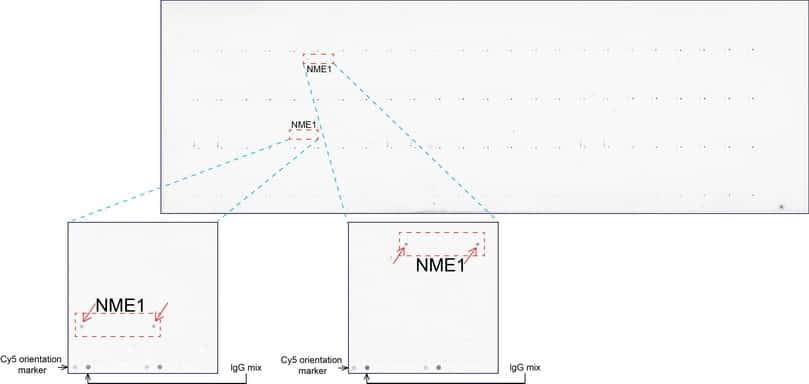 NME1 Antibody in Peptide array (ARRAY)