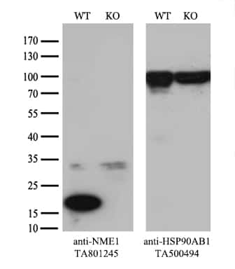 NME1 Antibody in Knockout