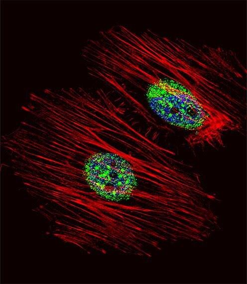NME2 Antibody in Immunofluorescence (IF)