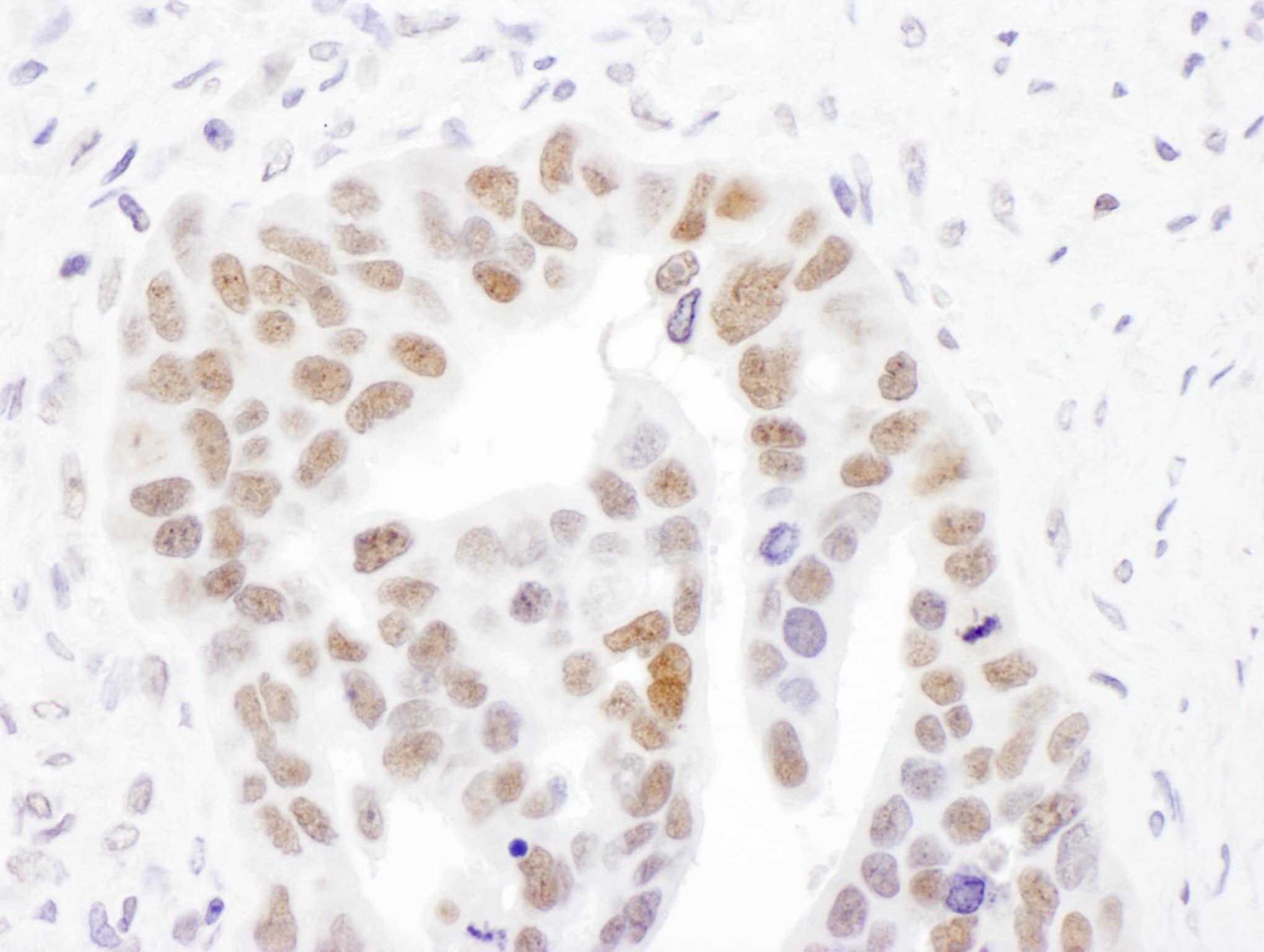 NMNAT1 Antibody in Immunohistochemistry (IHC)