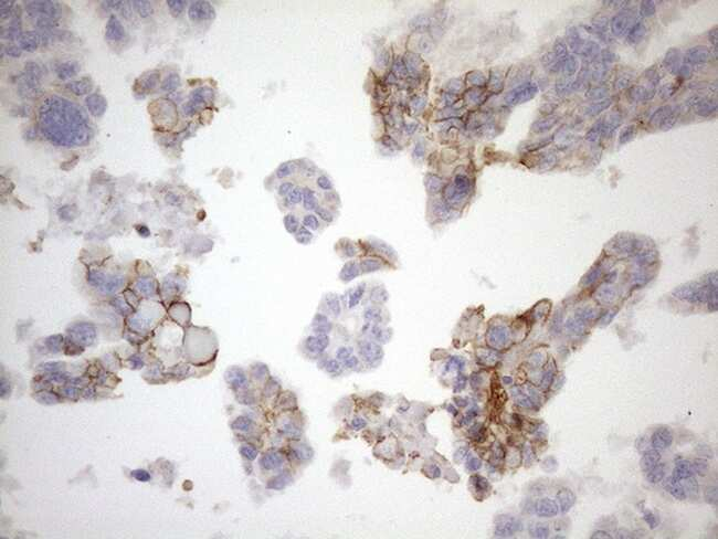 NPPB Antibody in Immunohistochemistry (Paraffin) (IHC (P))