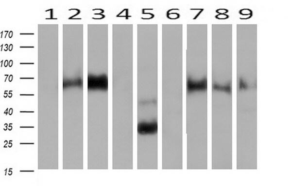 NPTN Antibody in Western Blot (WB)