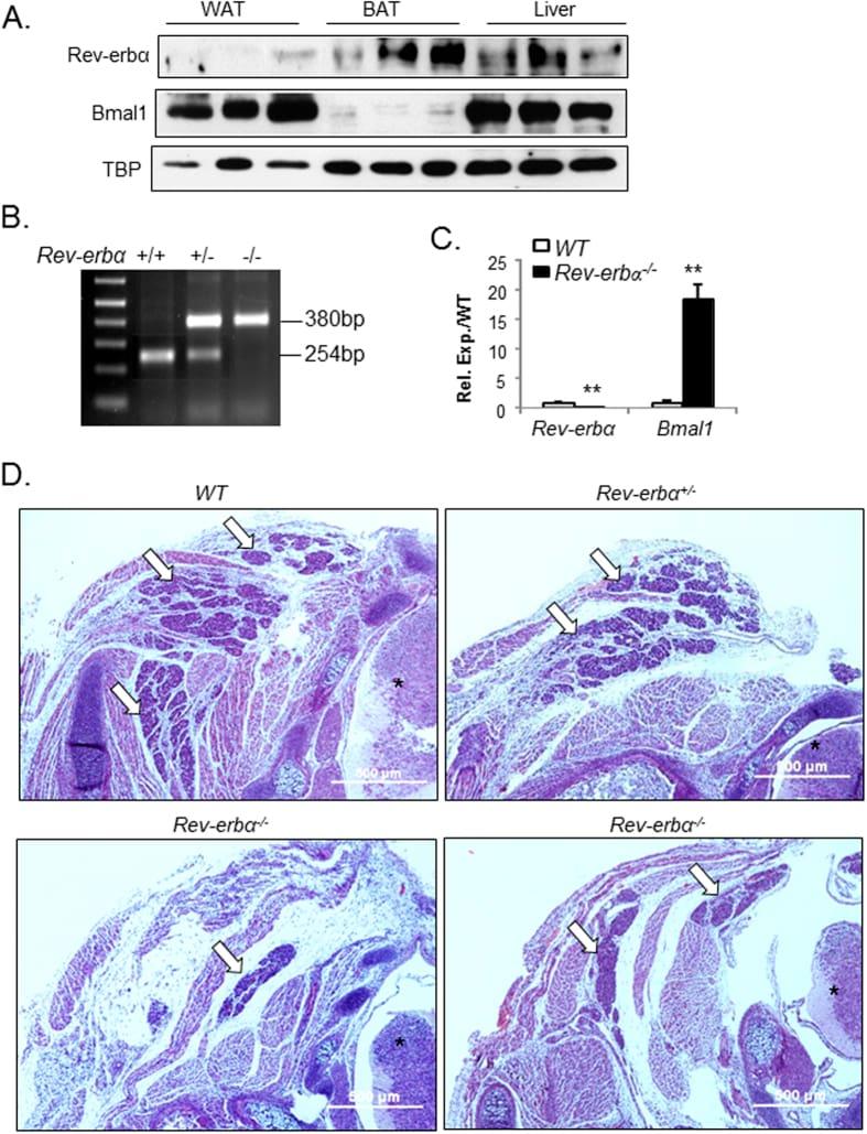 NR1D1 Antibody