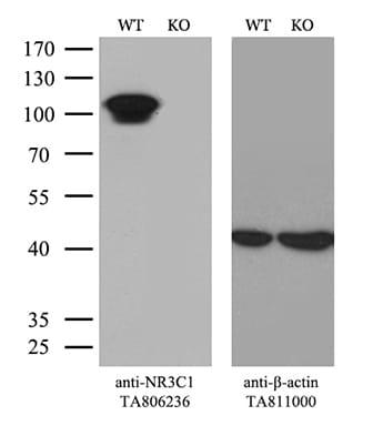 NR3C1 Antibody in Knockout