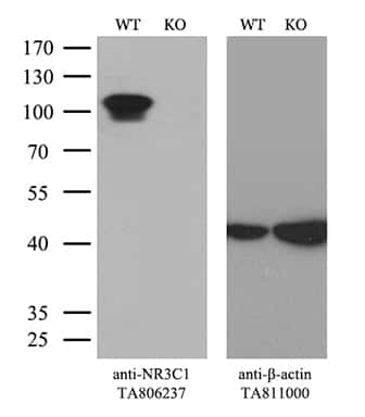 NR3C1 Antibody in Knockout