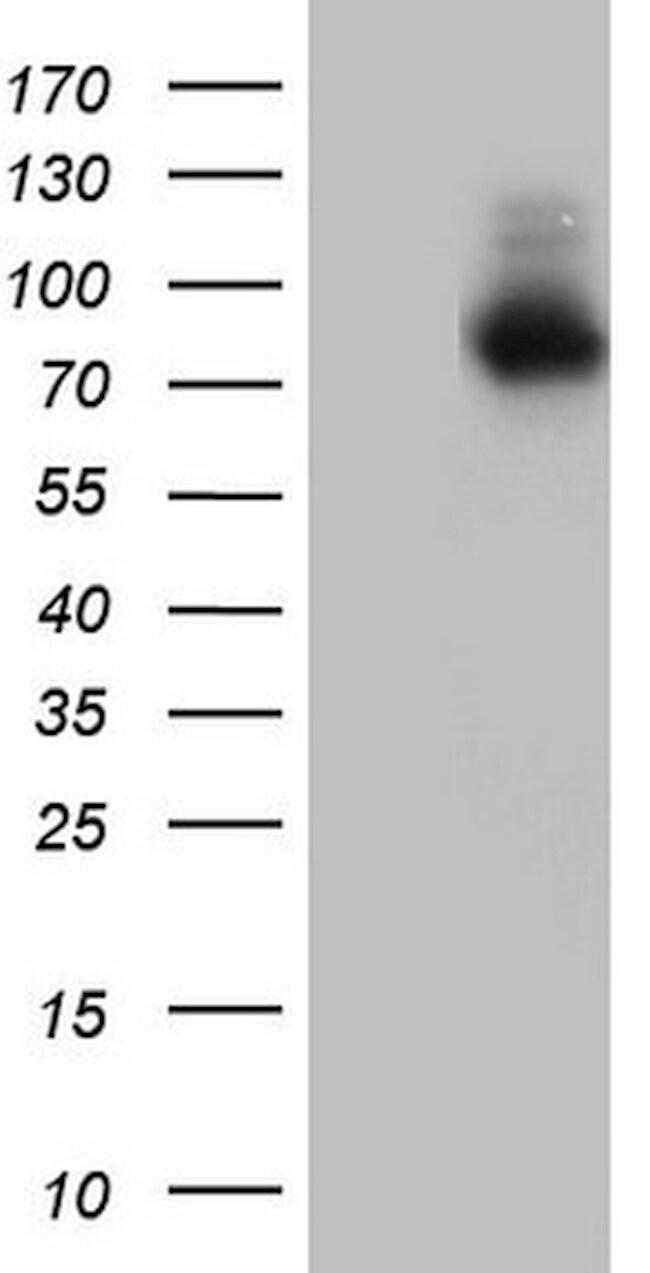 NR4A3 Antibody in Western Blot (WB)