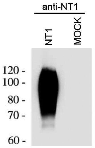 NTSR1 Antibody in Western Blot (WB)