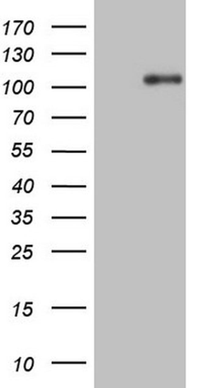 NTRK1 Antibody in Western Blot (WB)