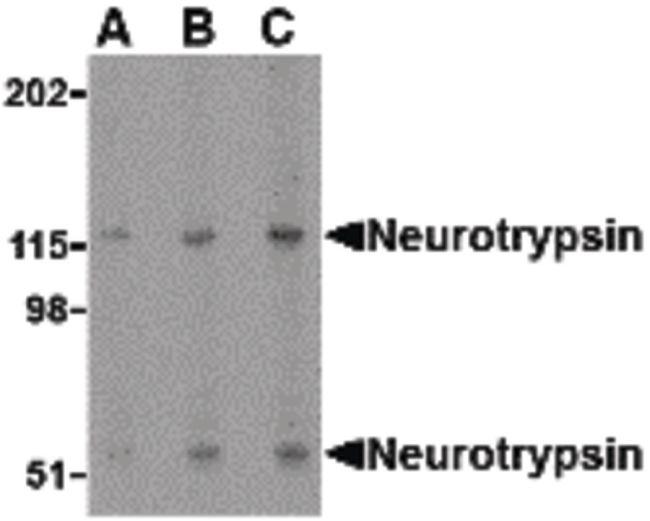 Neurotrypsin Antibody in Western Blot (WB)