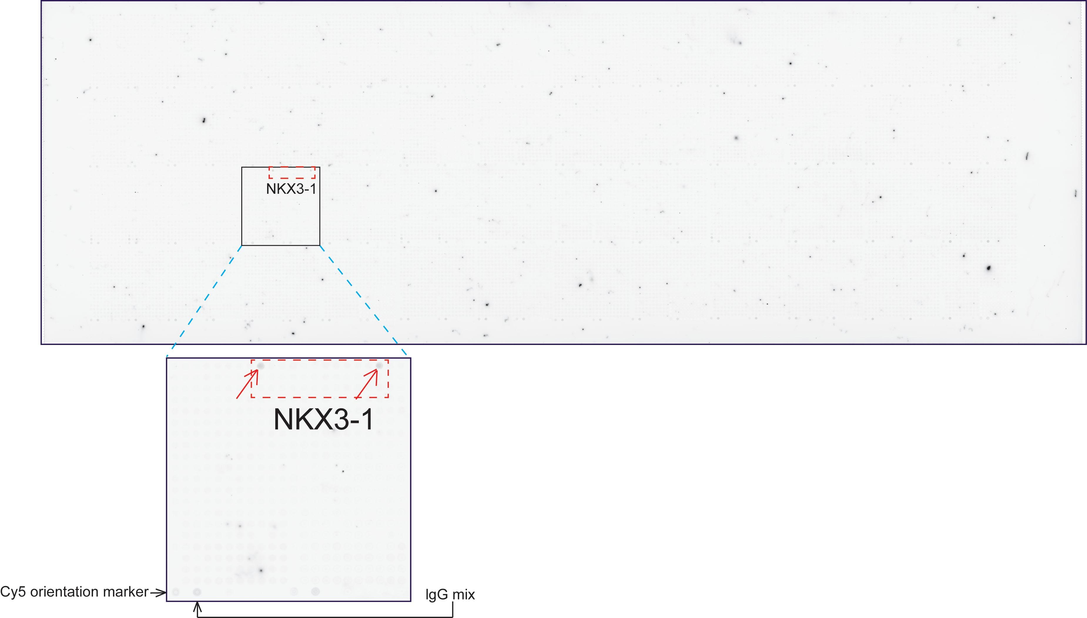 Nkx3.1 Antibody in Peptide array (ARRAY)