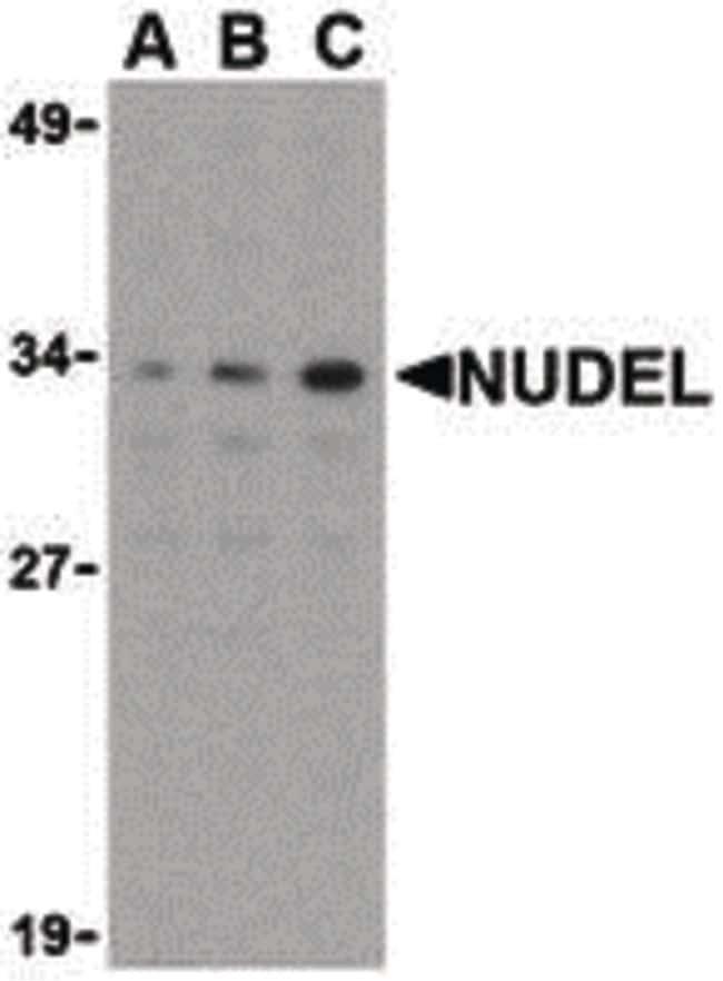 Nudel Antibody in Western Blot (WB)