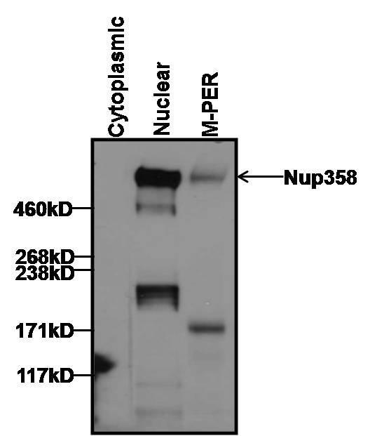 Ranbp2 Antibody Monoclonal 2e1