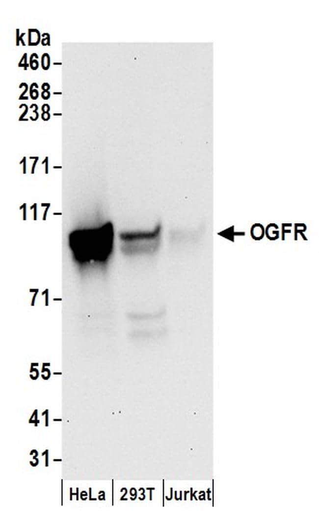 OGFR Antibody in Western Blot (WB)