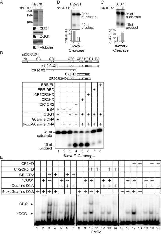 OGG1 Antibody