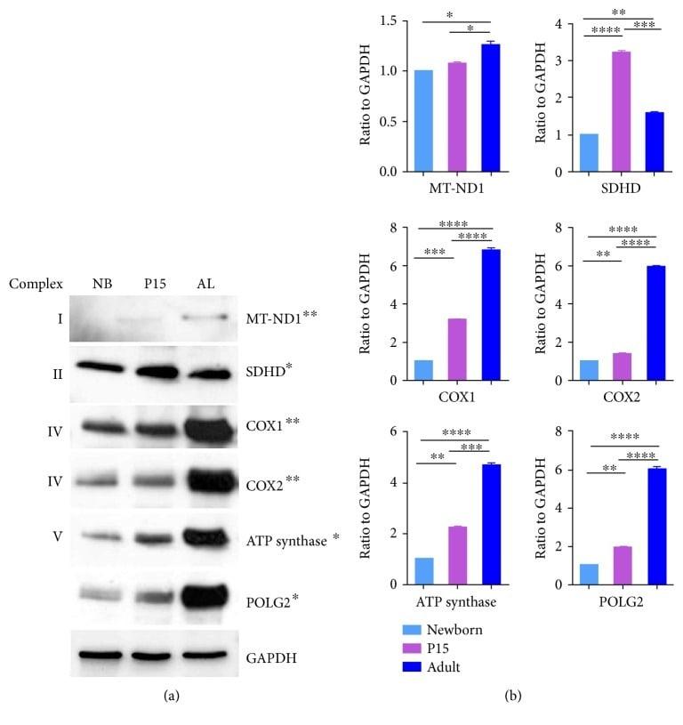 ATP Synthase beta Antibody