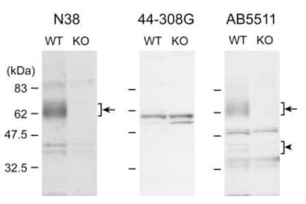 OPRM1 Antibody