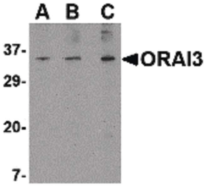 ORAI3 Antibody in Western Blot (WB)